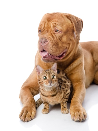 Dogue de Bordeaux  French mastiff  and Bengal cat  Pnailurus bengalensis  lying together  isolated on white background Stock Photo - 20901940