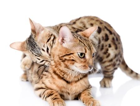 prionailurus: two Bengal cats  Prionailurus bengalensis   isolated on white background Stock Photo