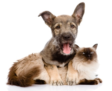 puppy and siamese cat together  isolated on white background Stock Photo - 20902024