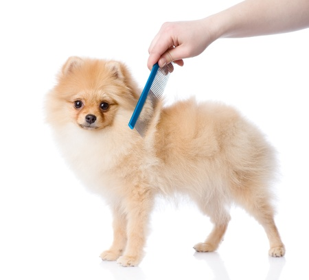 dog grooming: care for dog hair  looking at camera  isolated on white background Stock Photo