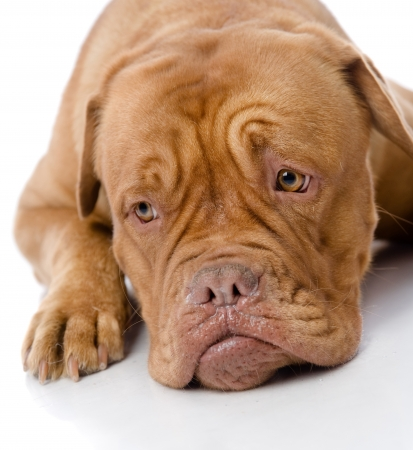 soulful eyes: sad Dogue de Bordeaux in front  isolated on white background
