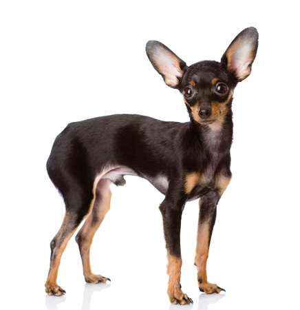 Toy Terrier puppy standing in profile  isolated on white background photo