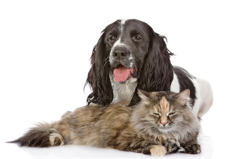 cats playing: English Cocker Spaniel dog and cat  looking at camera  isolated on white background