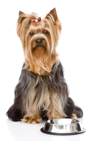 Yorkshire Terrier  begging for food  looking at camera  isolated on white background photo
