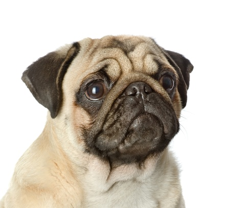 carlin: head pug puppy closeup  isolated on white background