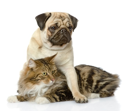carlin: pug puppy hugs a cat  isolated on white background Stock Photo