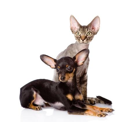 toyterrier: devon rex cat and toy-terrier puppy together  isolated on white background