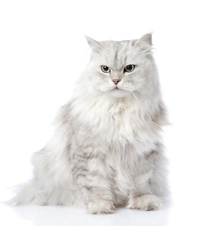 erwachsene: graue Perserkatze Wegsehen auf weißem Hintergrund