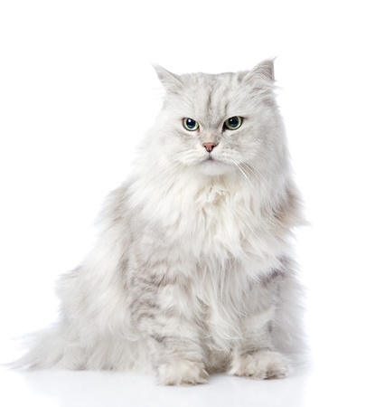 one adult: gray persian cat looking away  isolated on white background