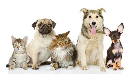 猫と白い背景で隔離のカメラを見て前に犬のグループ 写真素材