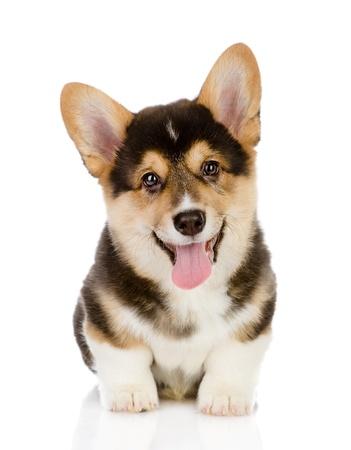 Pembroke 웨일스 코기 강아지 흰색 배경에 고립 된 카메라를 찾고 앉아