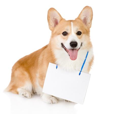 ウェルシュ ・ コーギー ・ ペンブローク犬カメラを見て首に掛け白紙の横断幕