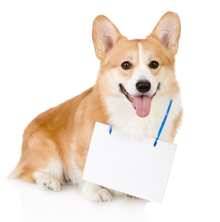 a placard: Pembroke Welsh Corgi dog with a blank banner hung on the neck  looking at camera Stock Photo