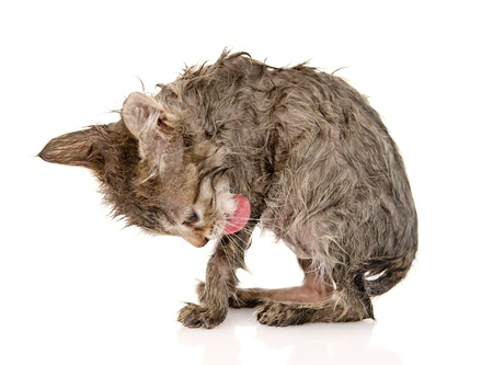 wet cat licks itself  isolated on white background photo