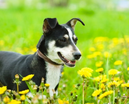 dog in flower field of yellow dandelions photo