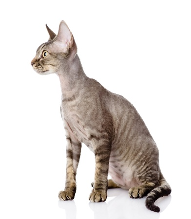 devon: sitting devon rex cat  looking left  isolated on white background