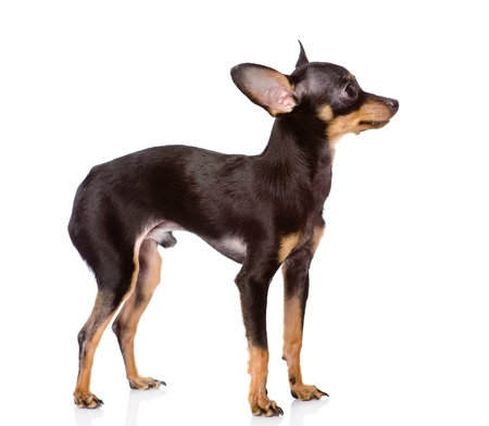 eared: Toy Terrier puppy standing in profile  looking away  isolated on white background