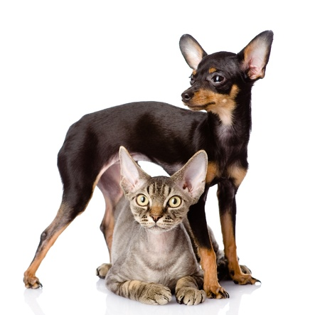 devon rex cat and toy-terrier puppy together  looking at camera  isolated on white background photo