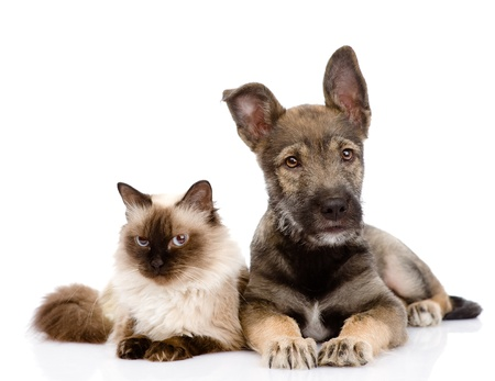 dog cat: puppy and siamese cat together  isolated on white background