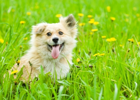 happy dog on blooming dandelion meadow photo