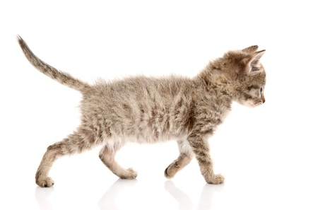 walking kitten  isolated on white background photo