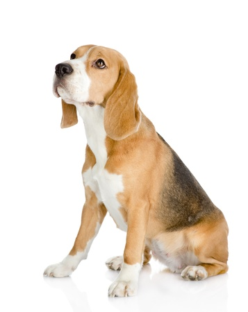 Beagle dog looking away and up  isolated on white background photo