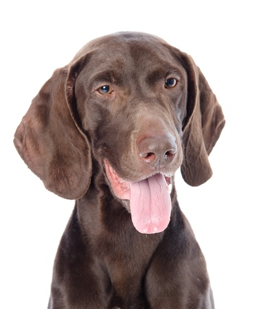 dog head: German Shorthaired Pointer in front  looking away isolated on white background