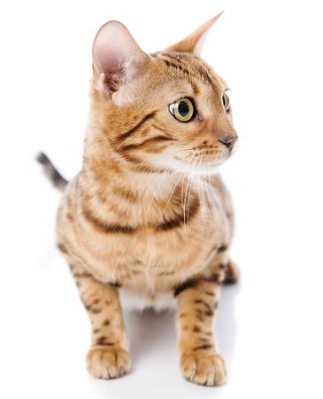 prionailurus: Bengal cat  Isolated on white background Stock Photo