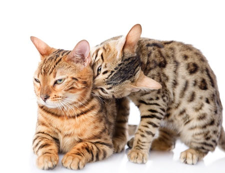 prionailurus: two  Bengal cats  Prionailurus bengalensis   isolated on white background