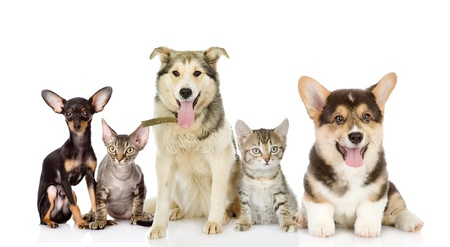 devon: Group of cats and dogs in front  looking at camera  isolated on white background Stock Photo