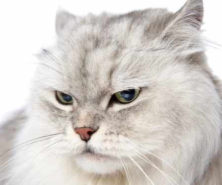 closeup persian gray cat portrait  isolated on white background photo