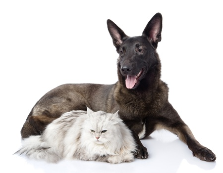 mixed breed dog and persian cat together  isolated on white background photo