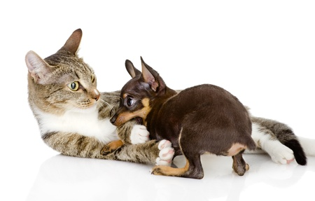the cat fights with a dog  isolated on white background photo
