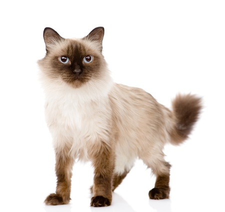 siamese cat standing in front  isolated on white background photo