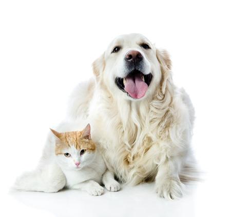 amor adolescente: Perro del perro perdiguero de oro abraza un gato mirando a la c�mara aislada en el fondo blanco