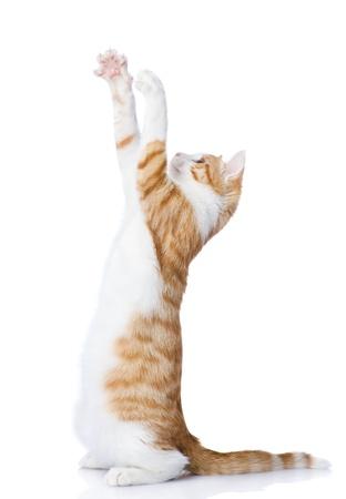白い背景上に分離されて遊び心のあるおかしい子猫