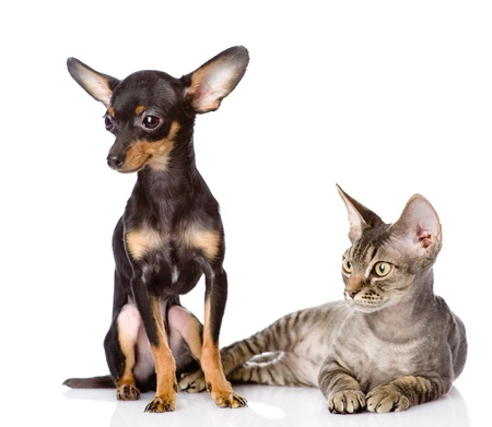 devon rex cat and toy-terrier puppy together  looking away  isolated on white background Stock Photo - 21046105