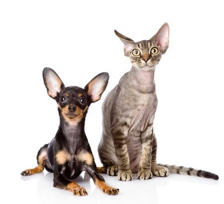 devon rex chat et chiot toy-terrier regardant ensemble la cam�ra isol�e sur fond blanc photo