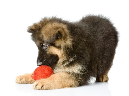 puppy play with a wool ball   isolated on white background photo