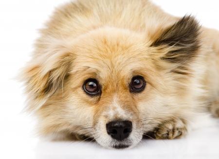 animal sad face: sad mixed breed dog lying in front  isolated on white background