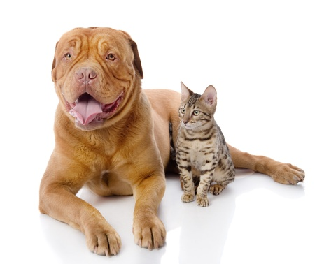 prionailurus: Dogue de Bordeaux  French mastiff  and Bengal cat  Prionailurus bengalensis  lying together  isolated on white background
