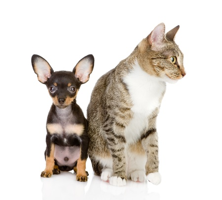 cat with a dog attentively look in the camera  isolated on white background photo