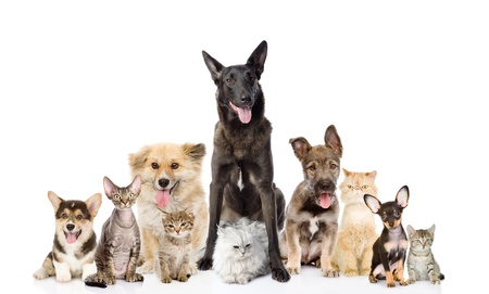 Group of cats and dogs in front  looking at camera  isolated on white background photo