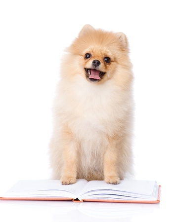 spitz puppy read book  looking at camera  isolated on white background Stock Photo