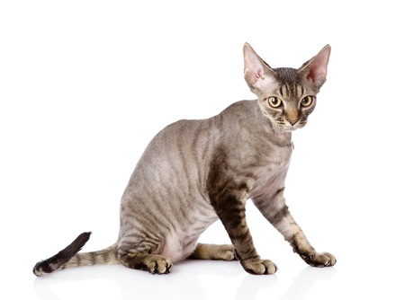 devon: sitting devon rex cat  looking at camera  isolated on white background Stock Photo