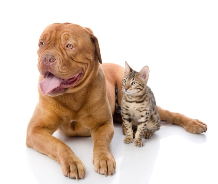 French mastiff and Bengal cat looking away  isolated on white background photo