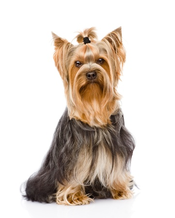 Yorkshire Terrier sitting in front  isolated on white background Stock Photo - 21167063