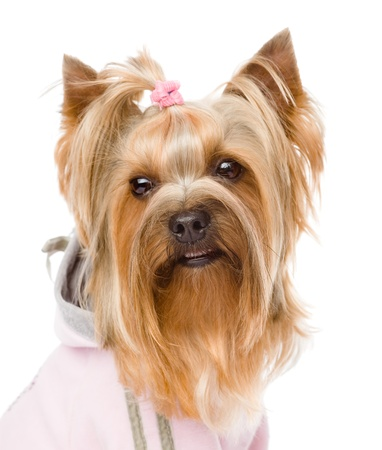 duffle: Yorkshire terrier head closeup   isolated on white background