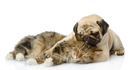 maine cat: the puppy kisses a cat  isolated on white background Stock Photo