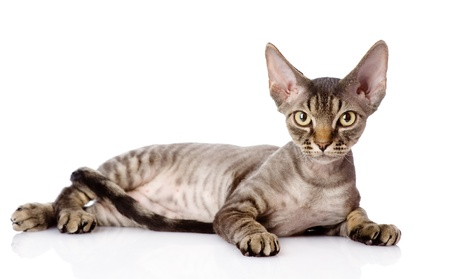 devon: lying devon rex cat  looking at camera  isolated on white background